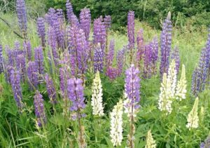 Lupines PW